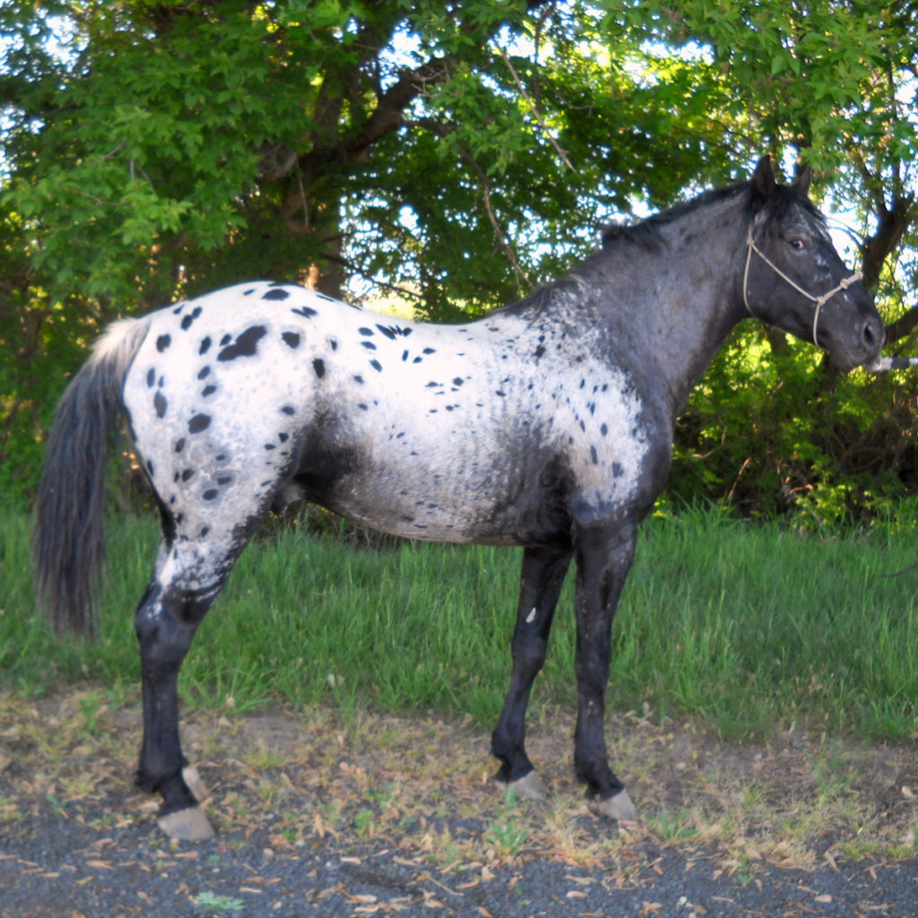 appy-1 Blue Creek Appaloosas Foundation Appaloosa